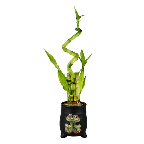 Lucky Bamboo Five Stalk with Spiral Arrangement with Black Ceramic Frog Standing Planter