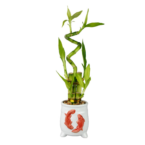 Lucky Bamboo Five Stalk with Spiral Arrangement with White Ceramic Koi Design Standing Planter