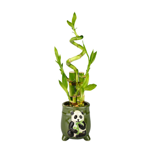 Lucky Bamboo Five Stalk with Spiral Arrangement with Green Ceramic Panda Standing Planter