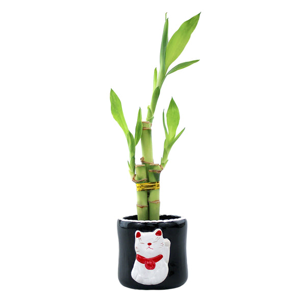 Three Stalk Lucky Bamboo with Round Meineke Cat Pot