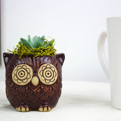 "2.25"" Succulent in Brown Ceramic Owl Pot"