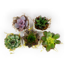 "Wedding Favors 2.25"" Succulents in white pots - Mixed Varieties - Bundle of 50, 100"