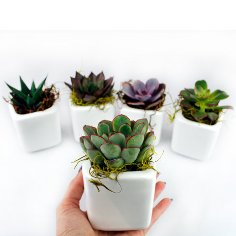 "Wedding Favors 2"" Succulents in white pots - Mixed Varieties - Bundle of 50, 100"