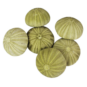 "Green Sea Urchin Shell (2"") for Terrarium Decoration"