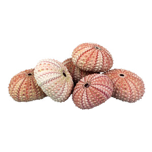 "Pink Sea Urchin Shell (1.5"") for Terrarium Decoration"