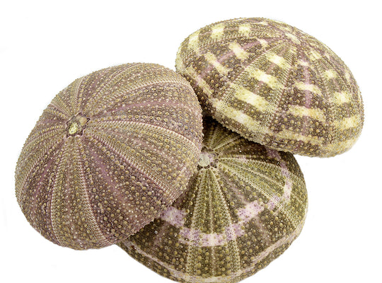 "Alphonso Sea Urchin Shell (4"") for Terrarium Decoration"