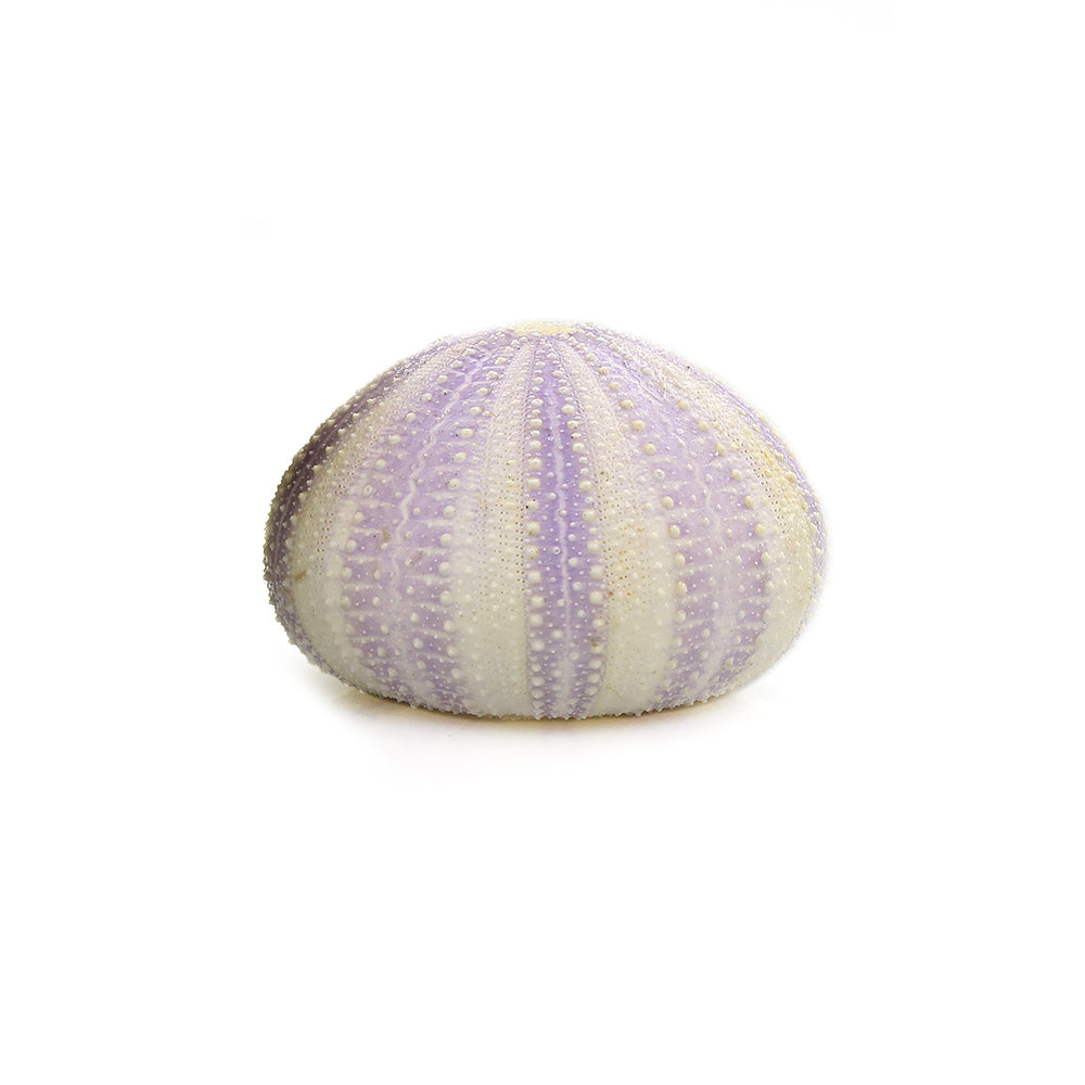 "Purple Sea Urchin Shell (2"") for Terrarium Decoration"