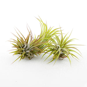 "Small Assorted Tillandsia Air Plant (2""-3"")"
