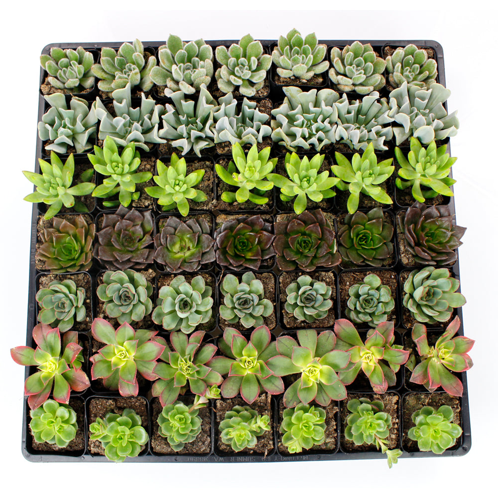 "2.25"" Succulent - Mixed Varieties - Flat of 49"