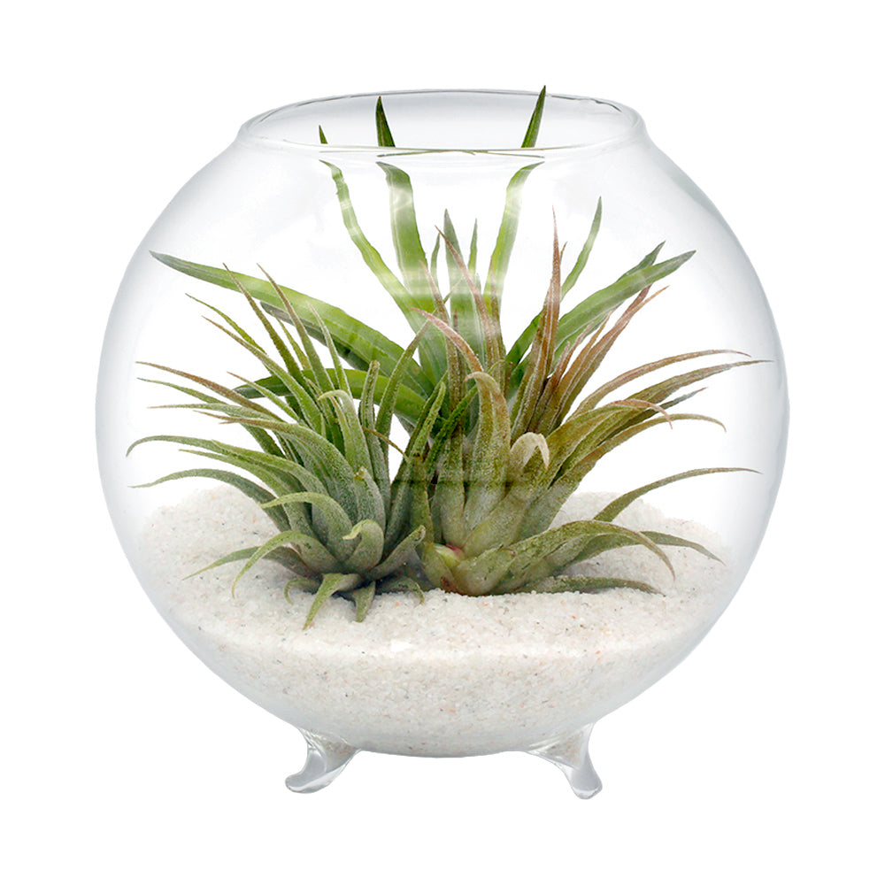 Minimal Orb Terrarium Kit with Three Live Tillandsia Air Plants
