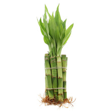 "4"" Straight Lucky Bamboo - Bundles of 10, 20, 50 or 100 Stalks"
