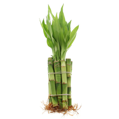 "4"" Straight Lucky Bamboo - Bundles of 10 or 100 Stalks"