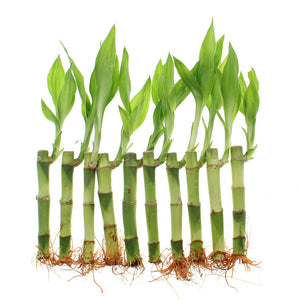 Ten lucky bamboo 4-inch straight stalks