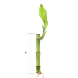 4-inch straight stalk measurement