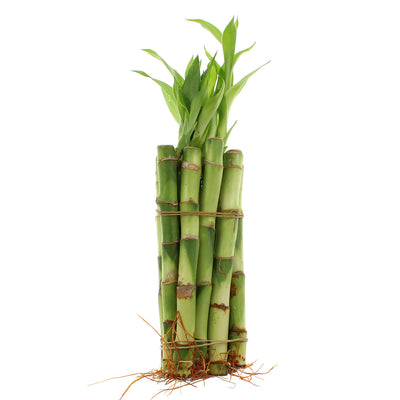 "6"" Straight Lucky Bamboo - Bundles of 10, 20, 50 or 100"