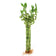 "12"" Spiral Lucky Bamboo - Bundle of 10"