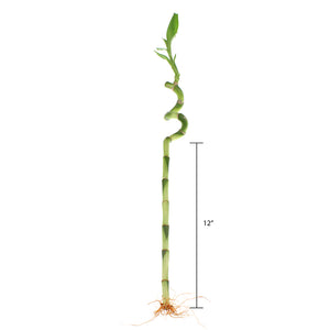 Lucky bamboo spiral measurement