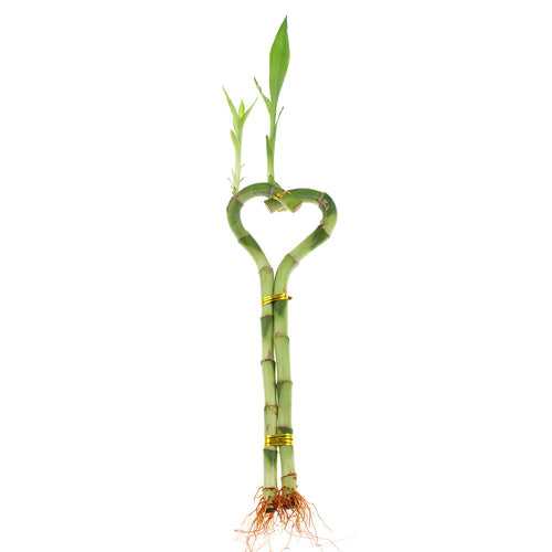 Lucky bamboo heart shaped design live indoor plant