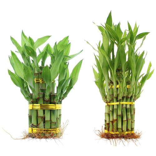 Lucky bamboo tiered towers wholesale designer pack by NW Wholesaler