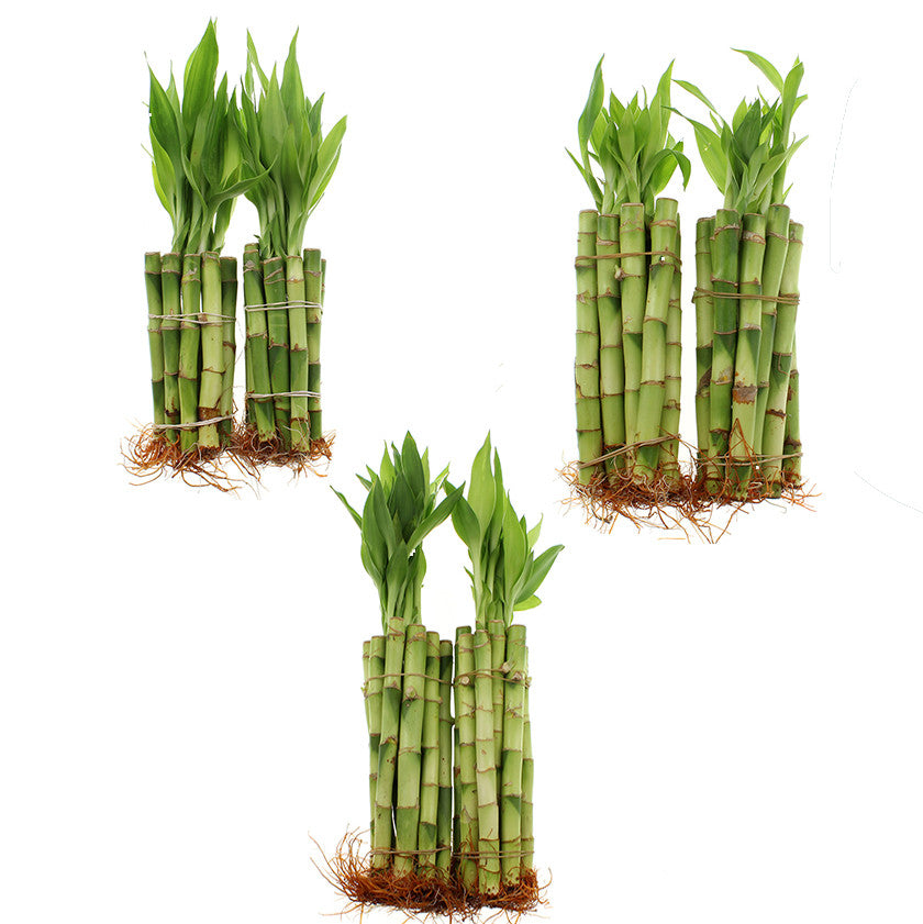 Lucky bamboo live indoor plant straight stalks - 60 stalks total