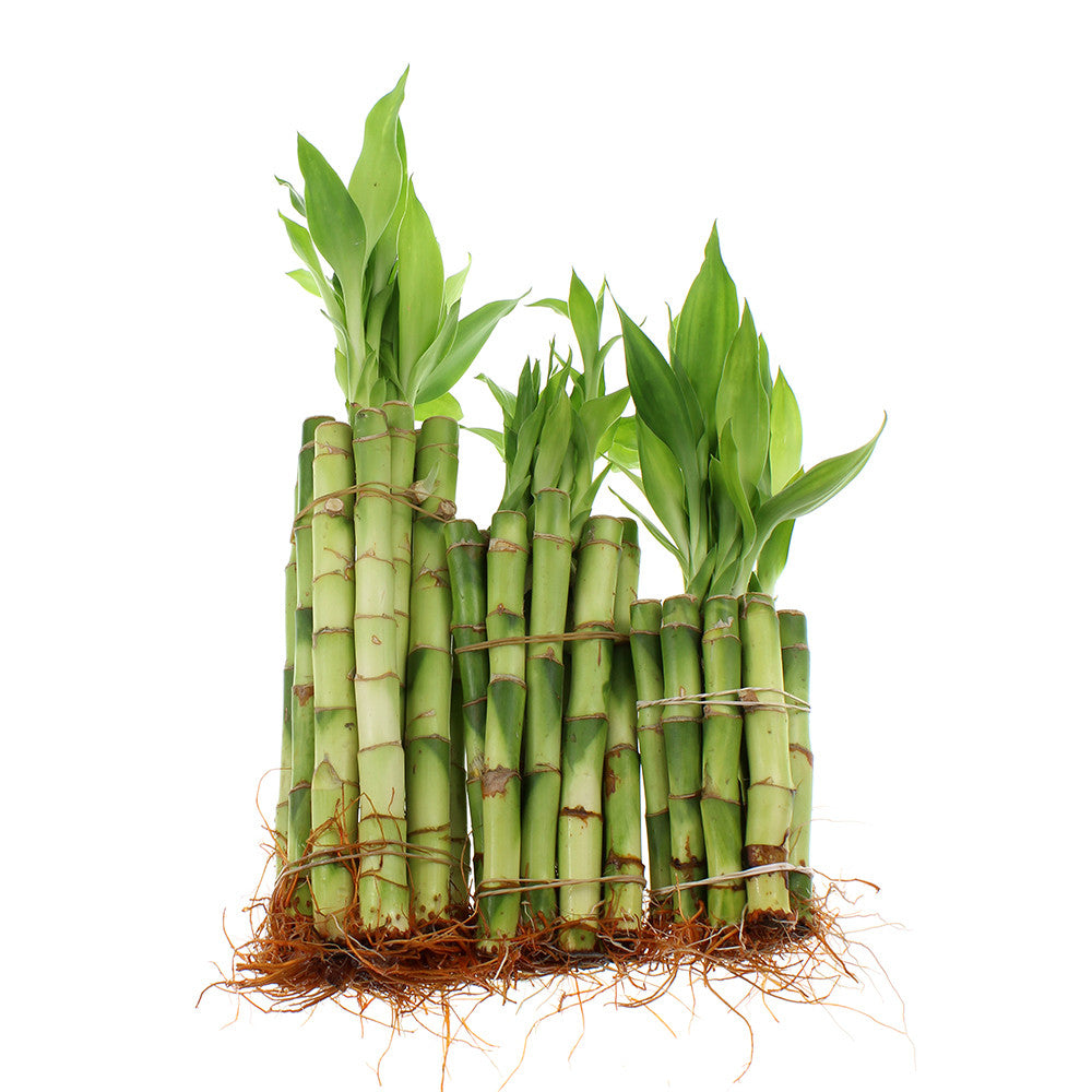 Lucky bamboo different size stalks