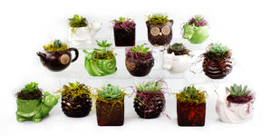 "Potted Succulents Collection - 15 Pots with 2.25"" Succulents and Spanish Moss"