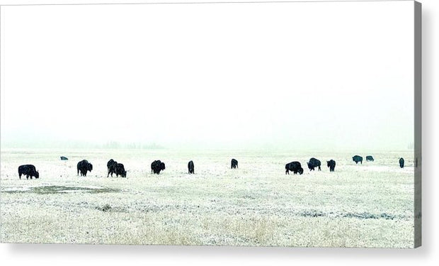 Snowy Bison Morning - Acrylic Print