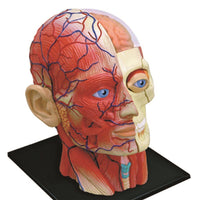 4D Human Head Skull Brain Anatomy Model Medical Science Lab School Learn