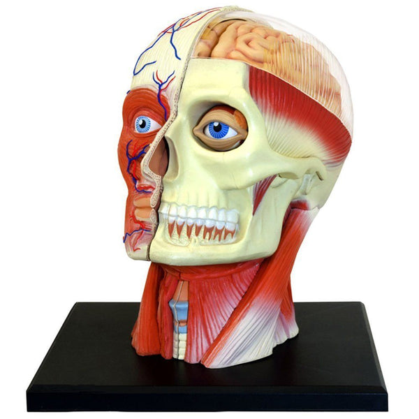 4D Human Brain Anatomy Model Science Lab School