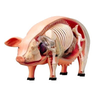 4D Vision Pig Anatomy Model, One Color Model Veterinary Teaching