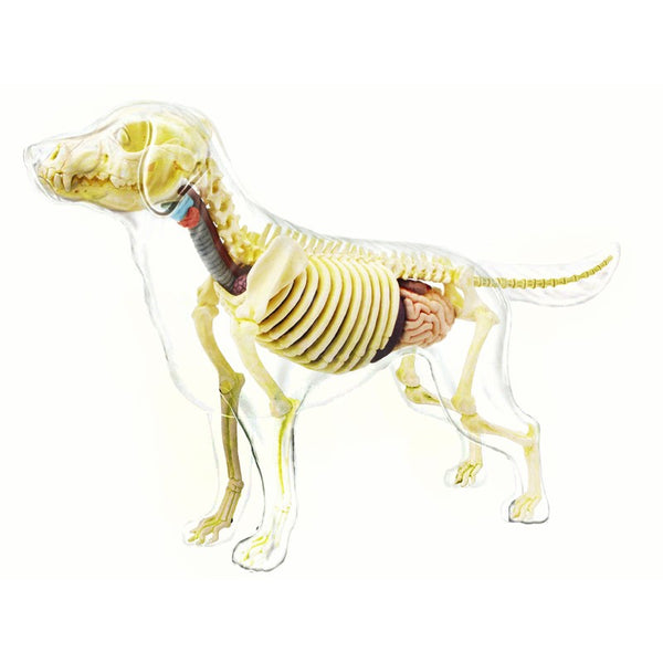 4D Master Dog Skeleton Educational Teaching Model