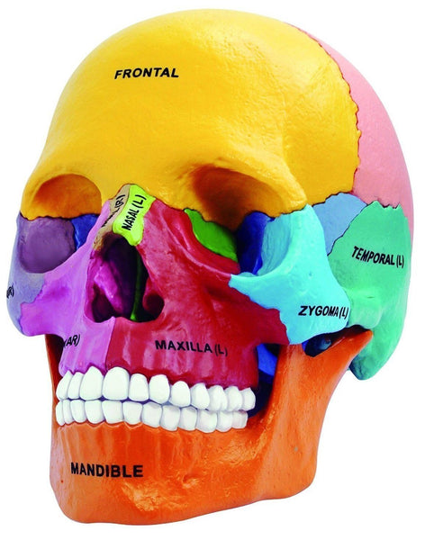 4D Puzzle Anatomy Human Skull