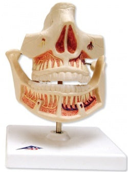 Adult Denture Lower Jaw Movable Dental Model