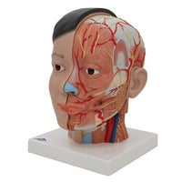 Human Antomical Asian Deluxe Head With Neck Model, 4 Part
