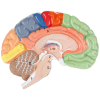 Axis Scientific Life-Size Regional 2-Part Anatomy Human Brain
