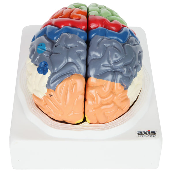 Human Life-Size Anatomy Brain Model
