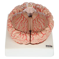 Axis Scientific 8-Part Deluxe Human Brain Anatomy Model with Arteries