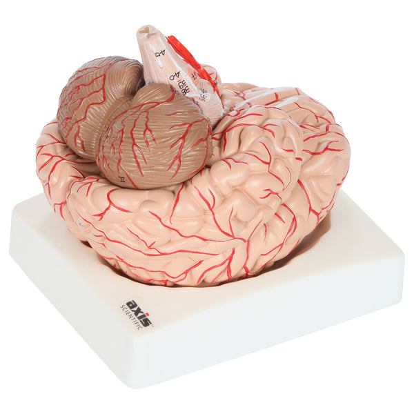 Axis Scientific 8-Part Deluxe Human Brain Anatomical Model with Arteries