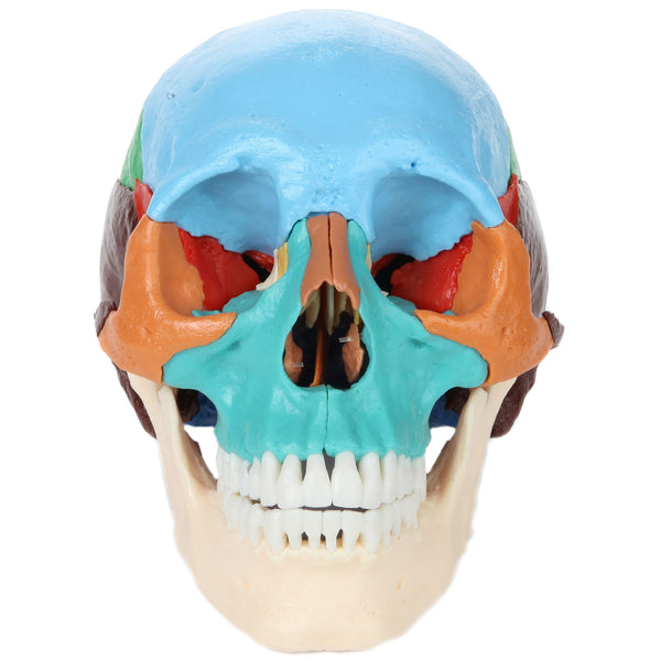 Axis Scientific 22 Part Human Skull Osteopathic Didactic Model
