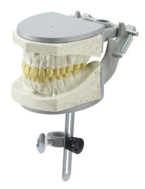 Dental X-Ray Education Model Radio-Opaque, fits manikin