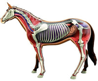 Horse Veterinary Anatomy Model