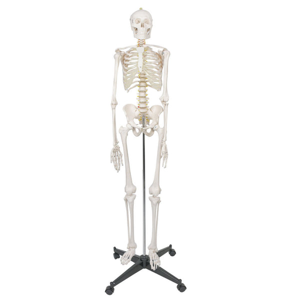 Life Size Human Anatomical Anatomy Skeleton Medical Model and Stand 70.8""