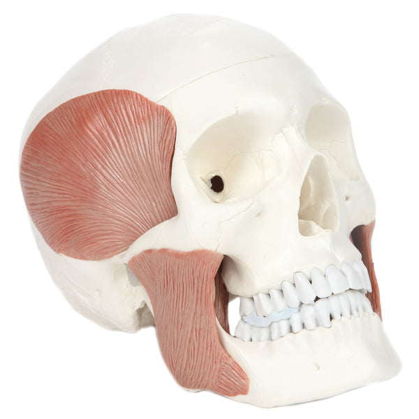 Axis Scientific Human Skull Model with Masticatory Muscles