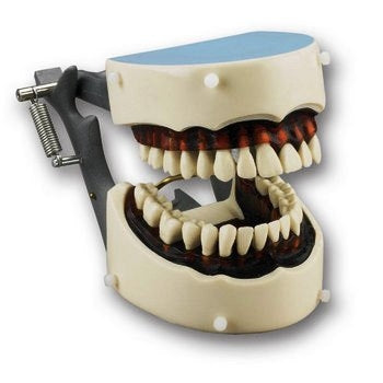 Articulated Dental Hygiene Dentoform with Soft Gingival Insert