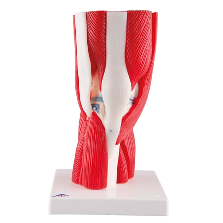 Human Knee Joint Model with Muscles, 12 Part Knee Model
