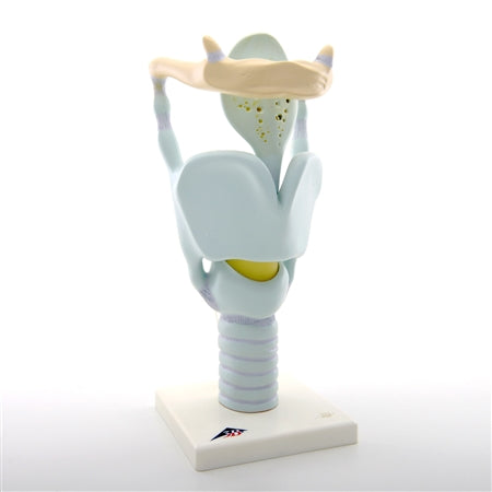 Anatomy Functional Larynx Model, 3x Full-Size