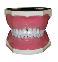 Dental Hygiene Anatomical Model with Removable Teeth, Nissin brand