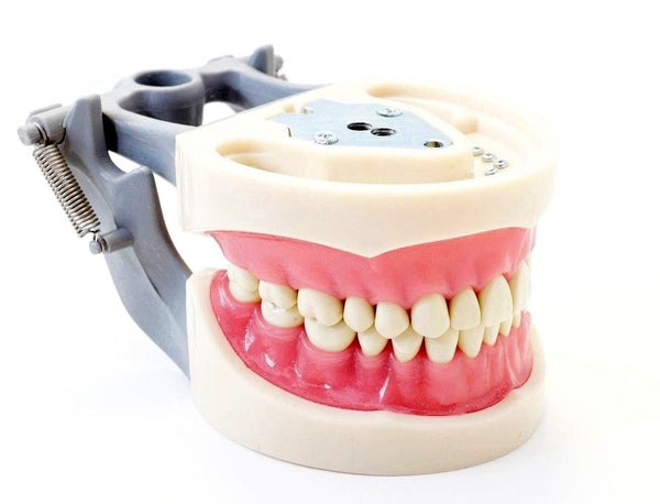 Dental Typodont Model 200 Type Kilgore Nissin Removable Teeth