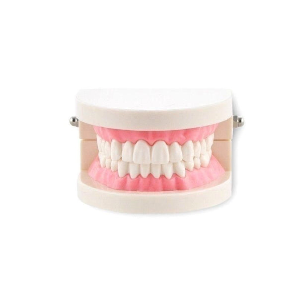 Dental Teach Study Adult Standard Demonstration Typodont Teeth Model Pink