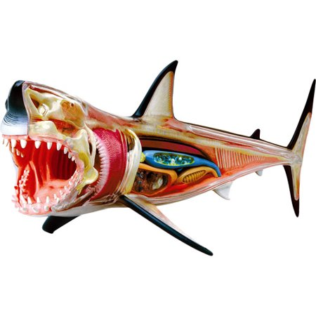 Great White Shark Marine Life Anatomy Model